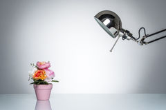 Lighting up pink flower pot with desk lamp. On round studio lighting Royalty Free Stock Photos