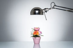 Lighting up pink flower pot with desk lamp. On round studio lighting Royalty Free Stock Image
