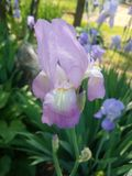 Light purple iris stock photos