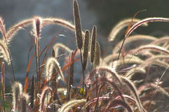 Lightness, wild grass red ears Royalty Free Stock Image
