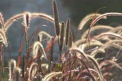 Lightness, wild grass red ears royalty free stock image