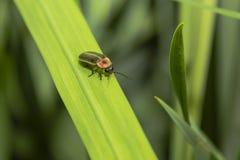 Lightning Bug Stock Photography