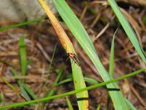 Lightning Bugs. On plants in the early evening royalty free stock photography