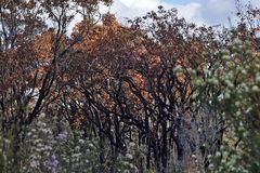 Lightning Strike Burnt Trees and Leaves, Surrounded by Untouched. Burnt Trees and Leaves, Showing where the fire Stopped, and the Regrowth after. Lightning stock photos