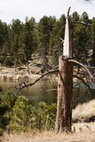 Lightning Struck Pine Tree at Lake. Pine tree that had been struck by lightning and subsequently died, at the edge of a lake in the Black Hills of South Dakota Royalty Free Stock Photos