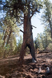 Lightning Struck Tree Royalty Free Stock Images