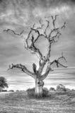 Lightning Tree. Old oak tree struck by lightning royalty free stock photography