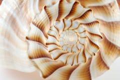 Lightning Whelk Stock Image