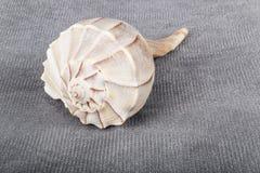 Lightning Whelk Shell Stock Image