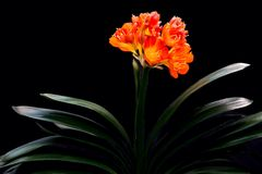 Clivia miniata with black background Stock Photography