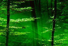 Lights of the forest Royalty Free Stock Image