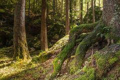 Lights in the wood. Green roots and trunks with musk in the forest stock photo