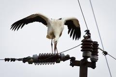 Ligne électrique de dégagement de cigogne blanche photographie stock libre de droits