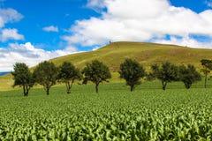 Ligne d'arbre de vert de gisement de maïs d'été herbe Photo libre de droits