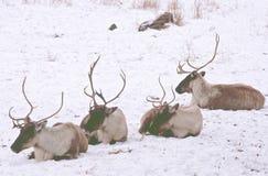 Ligne d'hiver de caribou de région boisée Images libres de droits