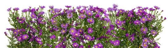Ligne d'isolement par chrysanthèmes violets Photos libres de droits