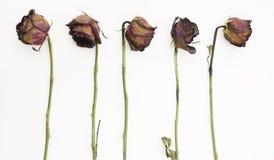 Ligne de 5 vieilles roses rouges sèches Photo stock