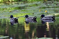 Ligne de canard Image libre de droits
