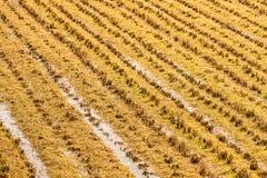 Ligne de chaume dans le domaine de riz Image libre de droits