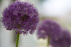 Ligne de fleur de gladiateur d'allium Image libre de droits
