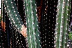 Ligne de grands arbres de cactus dans le jardin Image stock