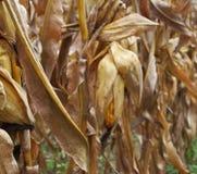 Ligne de maïs Images libres de droits