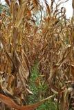 Ligne de maïs Photos stock