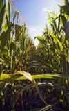 Ligne de maïs Photographie stock