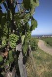 Ligne de vigne en Alsace Image stock