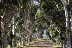 Ligne des arbres de bluegum Images libres de droits