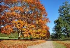 Ligne des arbres de chêne anglais dans des couleurs d'automne Image libre de droits