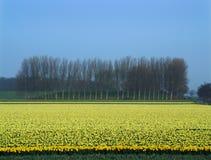 Ligne des arbres et une zone des jonquilles fleurissantes Image stock