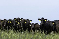 Ligne des bétail d'Angus photographie stock libre de droits