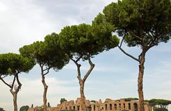 Ligne des pins Photos libres de droits
