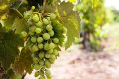 Ligne des raisins Photo libre de droits