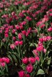 Ligne des tulipes photo libre de droits