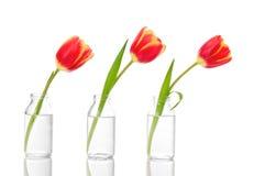 Ligne des tulipes photographie stock libre de droits