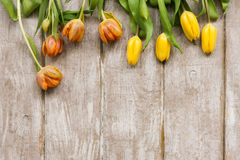 Ligne des tulipes jaunes Fond de source Photos libres de droits