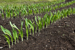 Ligne du jeune élevage de plantes vertes Photographie stock