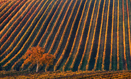 Ligne et vin Un arbre isolé d'automne dans la perspective des lignes géométriques des vignobles d'automne Photos libres de droits