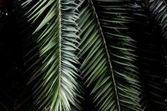 Ligne foncée feuille de vert de palmier pour le modèle ou le fond Images stock