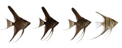ligne grandeur scalaire de poissons image libre de droits