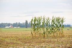 Ligne simple de maïs dans un domaine Photo libre de droits
