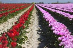 Lignes 3644 de tulipe Image libre de droits