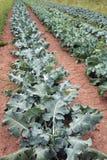 Lignes de broccoli Photographie stock libre de droits