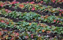 Lignes de buisson de fraise Photos libres de droits
