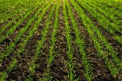 Lignes de jeunes pousses de maïs sur le champ photos libres de droits
