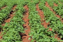 Lignes de légume organique Image libre de droits