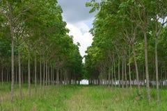 Lignes de l'arbre en caoutchouc de para images stock