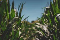 Lignes de maïs photographie stock libre de droits